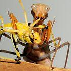 Praying Mantis eating its Prey by MidnightRocker