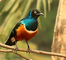 Superb Starling by Robert Abraham