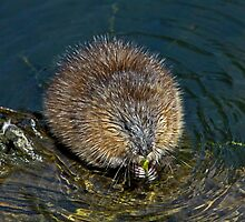 Muskrat Feeding at Delta Pond by Chuck Gardner