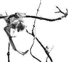 Grey-headed flying fox by Harryshotshots