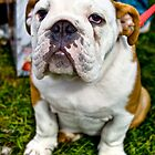 British Bulldog by nataraki76