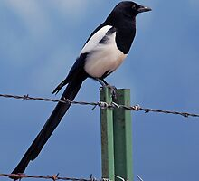 BIRD ON A WIRE by Rodney55