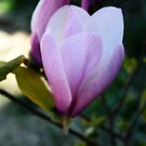 Magnolia Bloom Opening by kkphoto1