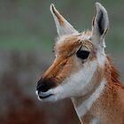 antelope doe #341 by Rodney55