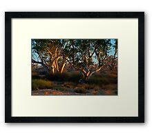 River Red Gums - Cooper Creek, SA Framed Print