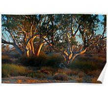 River Red Gums - Cooper Creek, SA Poster