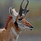 antelope buck #194 by Rodney55