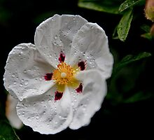 White Flower by Jon Yager