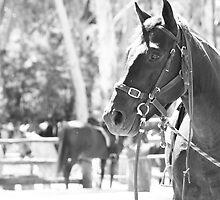 Megalong Valley Farm Horse by Ann Barnes