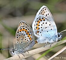 Mating Silver-studded  Blues, Plebejus argus by pogomcl