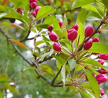 Crabapple Buds by MaryinMaine