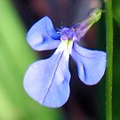 Little Lobelia by Michael John
