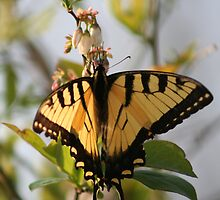 Yellow Butterfly on a Blueberry Bush by DebbieCHayes