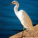 Eastern Reef Egret by kwill