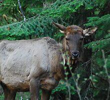 Cow Elk by skreklow