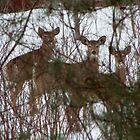 White Tailed Deer by mlaprade