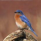 """Big Blue"" - Male Bluebird by Stephen Stephen"