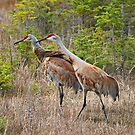 Sandhill Cranes by Vickie Emms
