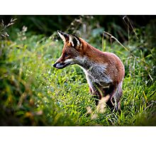 Red fox (vulpes vulpes) hunting along the banks of the river Trent, Trentham, Staffordshire, UK. Photographic Print