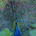 Proud Peacock by Clive Roper