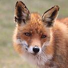 Red Fox_6219  by DutchLumix