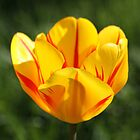 My Shining Tulip by Diane Beckwith-Zink