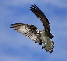 Osprey Wingspan by Jim Cumming