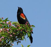 Red Wing Blackbird by swaby
