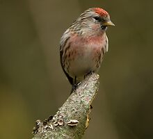 redpoll out on a limb by Grandalf