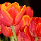 Tulip flames by Gili Orr