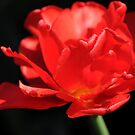 Flamenco by Rosy Kueng