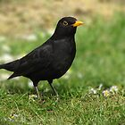Blackbird in Spring by Sally Green