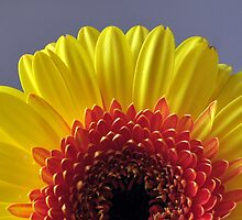 Gerbera Sunrise  by Shubd
