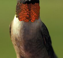 "Male Ruby Throated Hummer -- ""RED"" by Dennis Jones - CameraView"