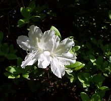 What about White 1 by WalnutHill