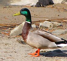 THE MALE MALLARD  by Marie  Morrison
