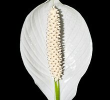 Peace Lily - Print by Mark Podger