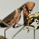 Praying mantis tears apart its prey by MidnightRocker