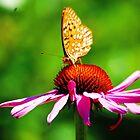 Fritillary on Echinacea by Anne Smyth