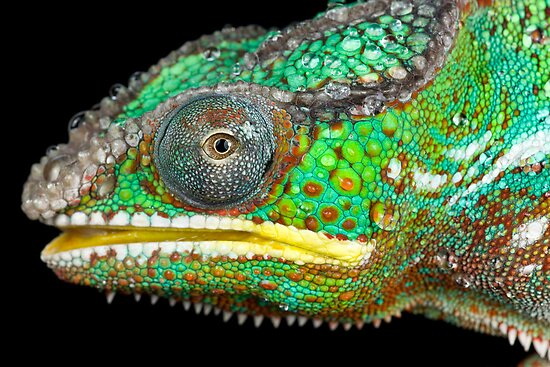 Panther chameleon by AngiNelson