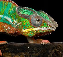 The colourful chameleon by AngiNelson