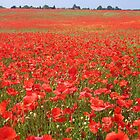 Local poppy field by hjaynefoster