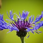 A Cornflower's Glory by DonDavisUK