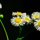 prairie fleabane by Phillip M. Burrow