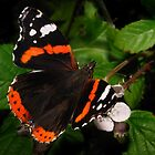 Red Admiral by Miffy