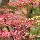 Colors of the Japanese Maple by Ajeet