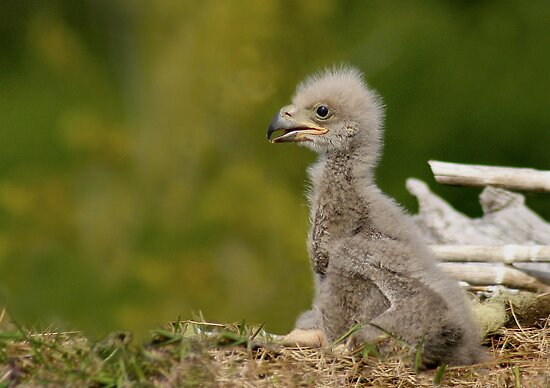 Baby Eagle by EagleHunter
