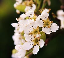 Spring blossoms by shilohrachelle