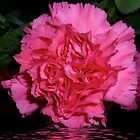 Carnation flooded by hilarydougill