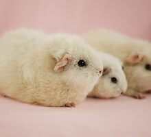 White Guinea Pigs by gildedlily